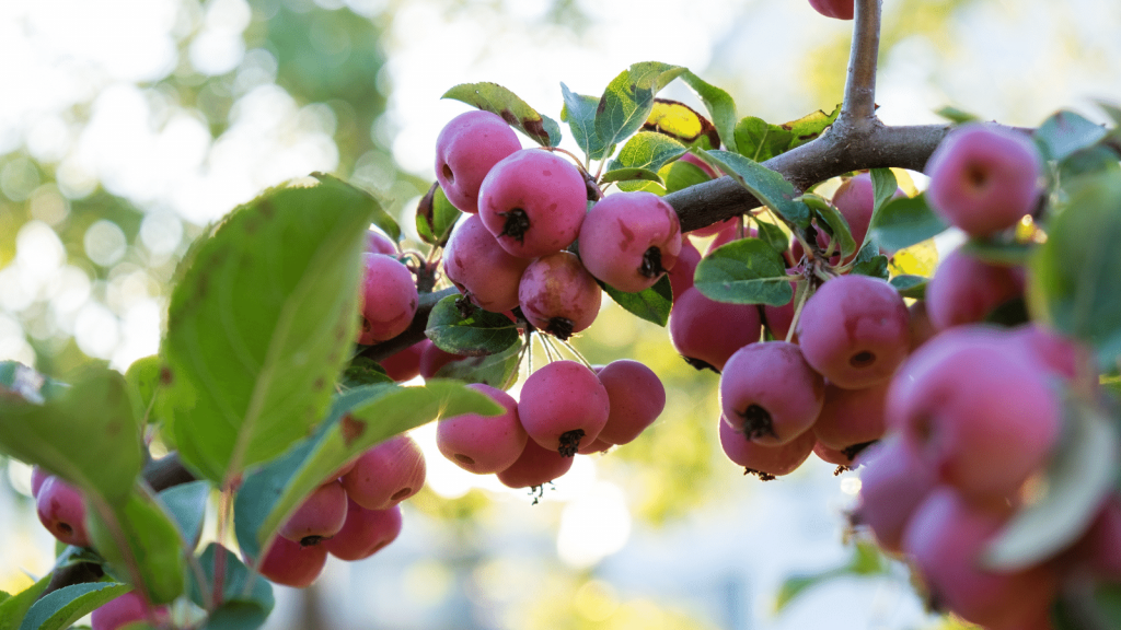 Ripe crabapples on the tree, representing step 1 of how to make crabapple butter: pick 6lb of crabapples.